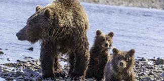 Familias de osos están en peligro por la revocación de una prohibición