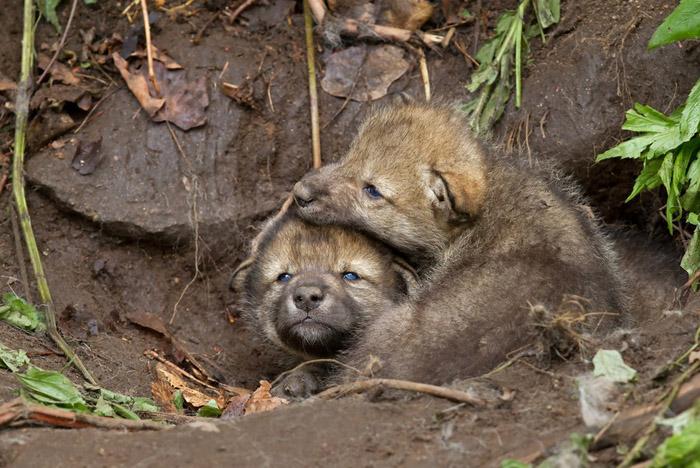 Familias de osos y lobos se encuentran en peligro