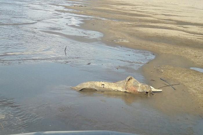 Hallan dos cuerpos sin vida de delfines rosados