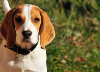 Infórmate sobre la raza Beagle