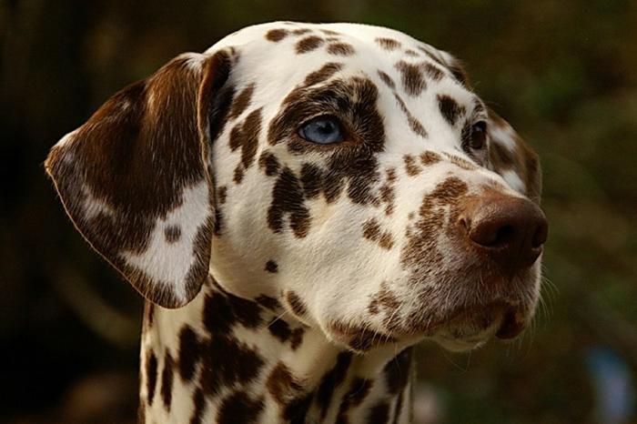 La nariz del dálmata es siempre del mismo color de las manchas de su cuerpo