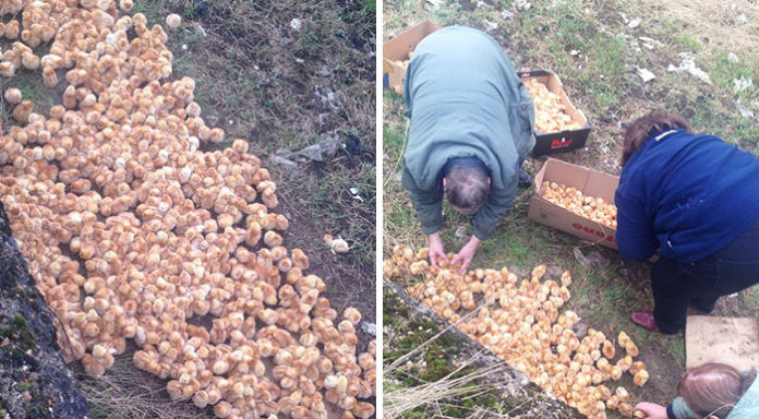 Más de mil pollitos fueron abandonados