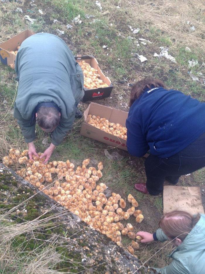 Mil polluelos fueron abandonados en el campo