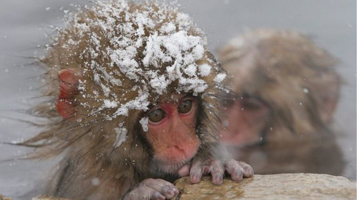 Monos de nieve fueron sacrificados