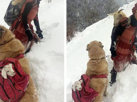 Niña y su perro rescataron a una cabra