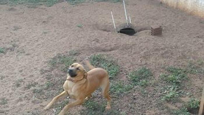Pandora adora excavar en el patio trasero de la casa