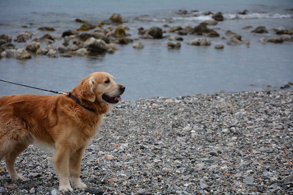 Paseando golden retriever
