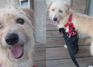 Esta perra fue lanzada desde un balcón y tuvieron que amputar su pata