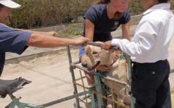 Perro fue envenenado y lo transportaron en una ambulancia improvisada