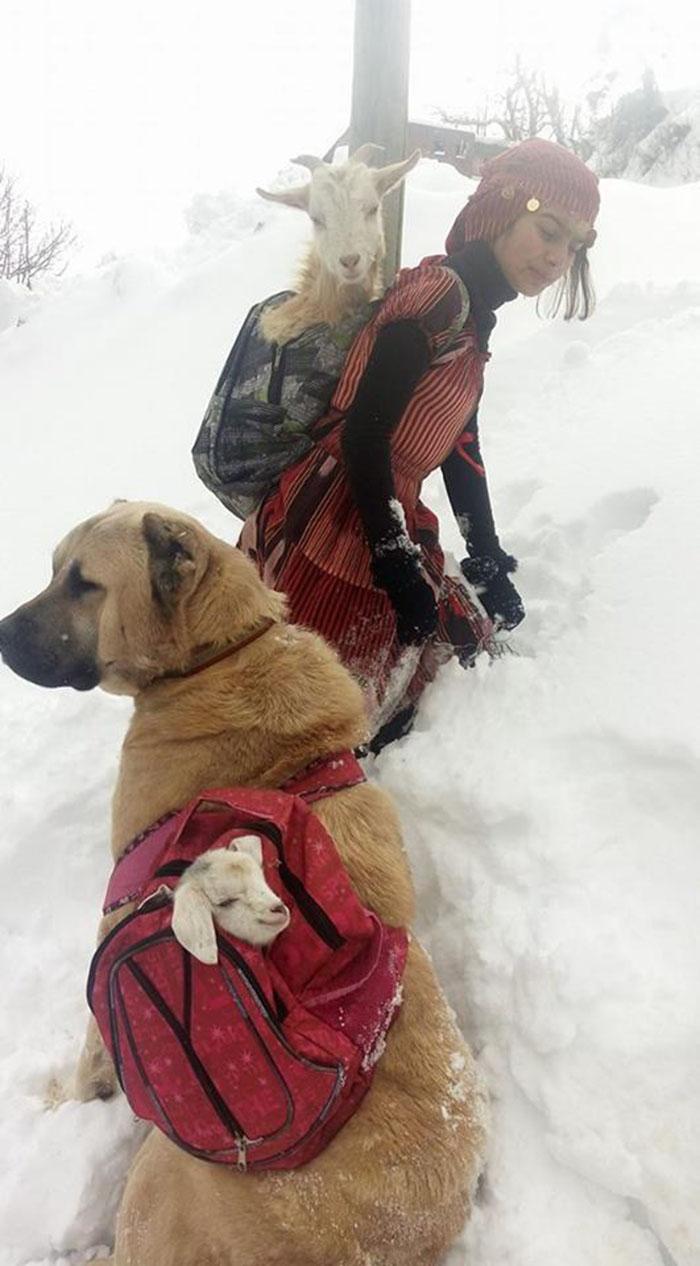 Perro lleva cabra bebé en la mochila
