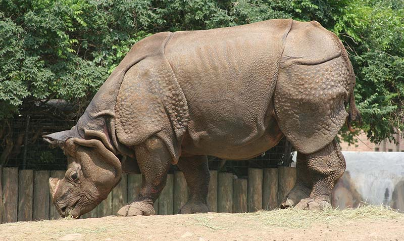 Rinoceronte de la India