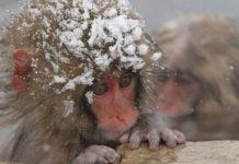 Zoológico japonés mató a 57 monos de nieve por poseer genes extraños