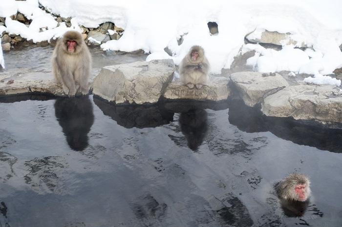 Zoológico japonés sacrifico a 57 monos de nieve