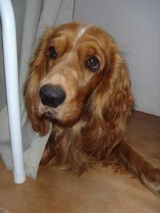 cocker spaniel - razas de perros