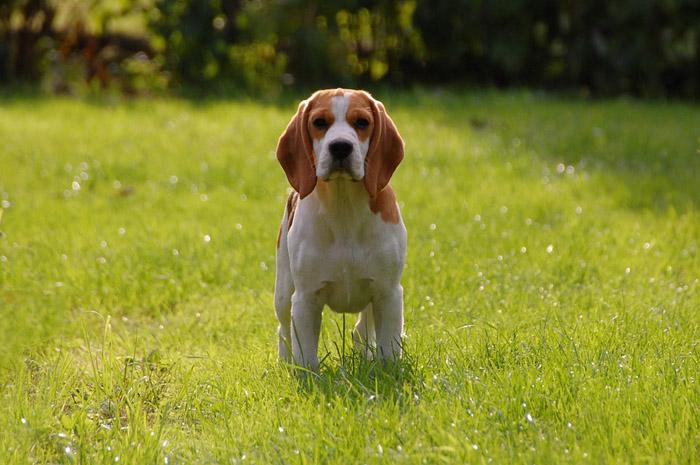 El Beagle cuenta generalmente con un buen estado de salud