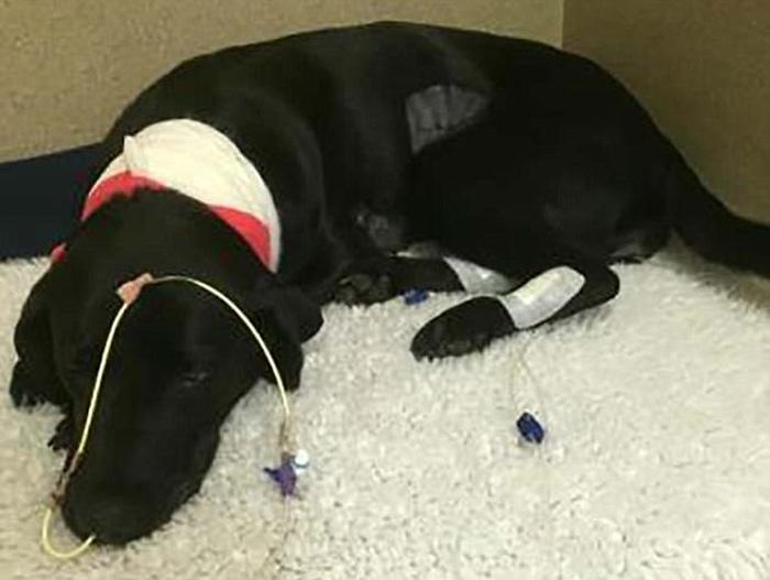 Brote de alabama rot ha matado a decenas de perros