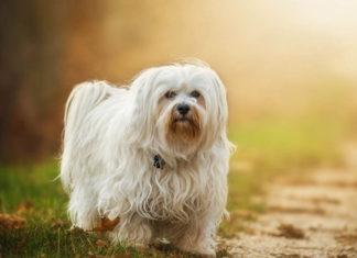 El perro bichón habanero