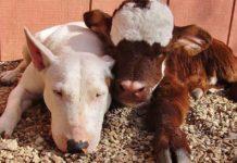 Esta vaca en miniatura vive con 12 perros y adora pasar tiempo con ellos