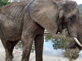 Este elefante muere de hambre por crisis económica en Venezuela