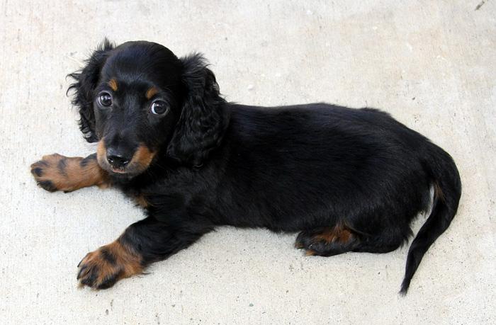 El dachshund es propenso a sufrir problemas en la espina dorsal