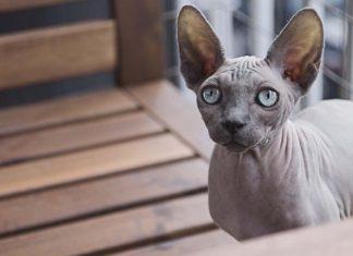 Gato Sphynx o gato esfinge