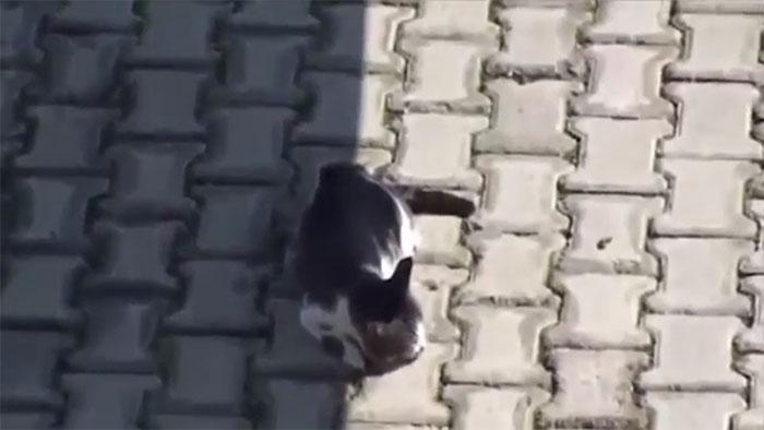 Gato herido
