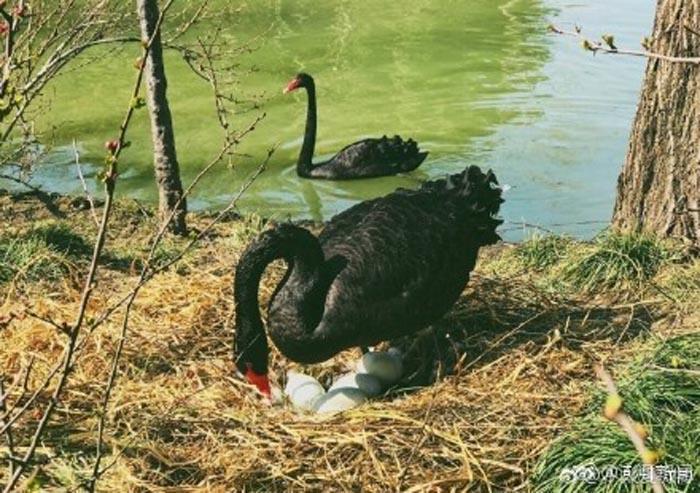 Los cisnes negros son una especie en peligro de extinción