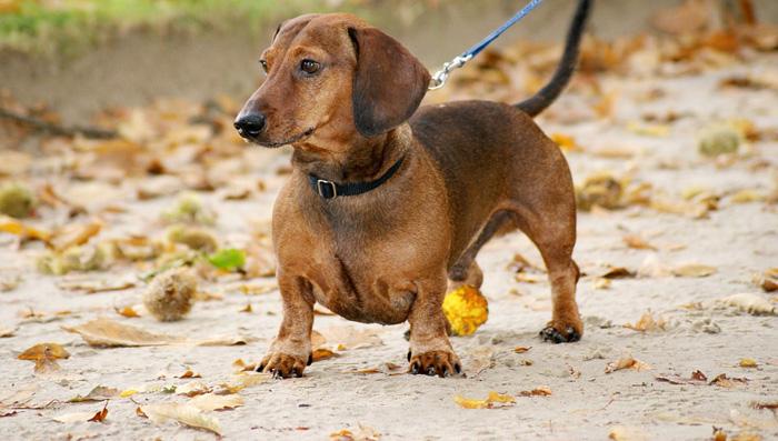 Los perros salchicha tienden a sufrir de sobrepeso
