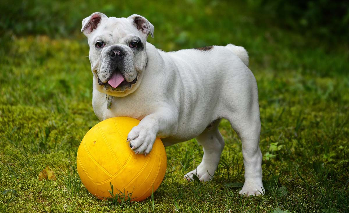 Bulldog Inglés Cuidados Características Y Curiosidades