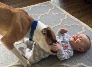 Perro le hace cosquillas en la panza al bebé