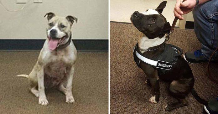 Policías están orgullosos de que sus perros K9 sean Pit Bulls rescatados