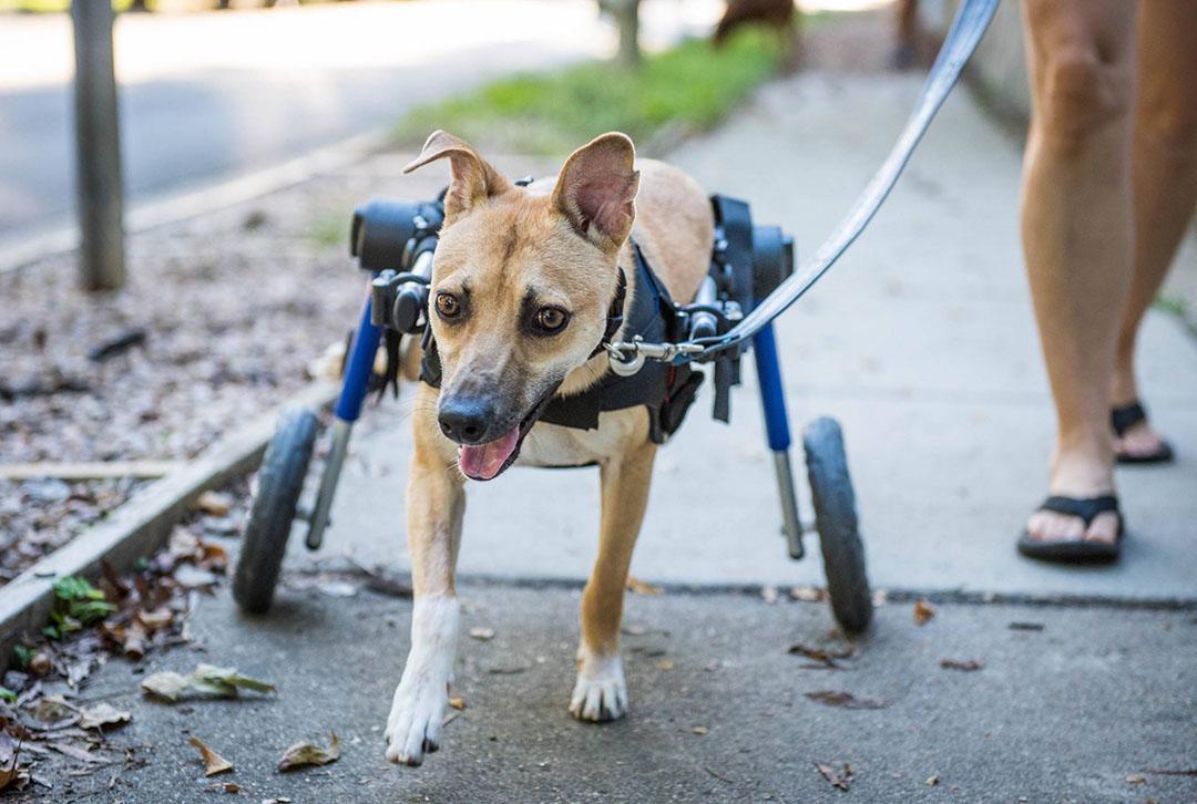 Poppy y su silla de ruedas