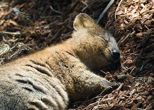 Quokka durmiendo