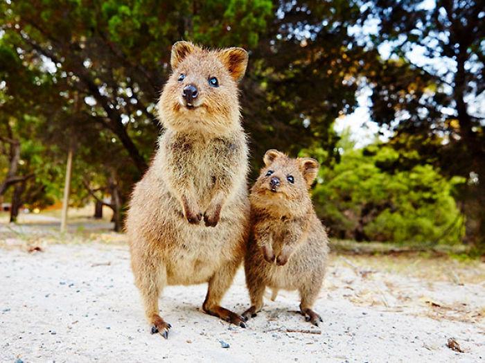 Quokka madre e hijo