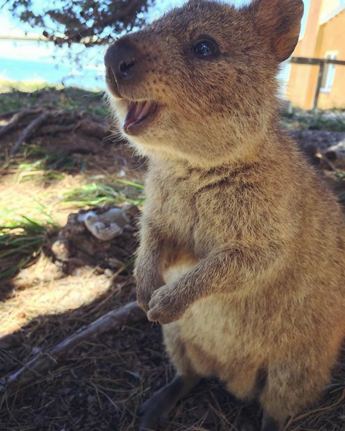 Quokkas animales felices