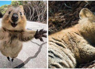 Quokkas animales más felices del mundo