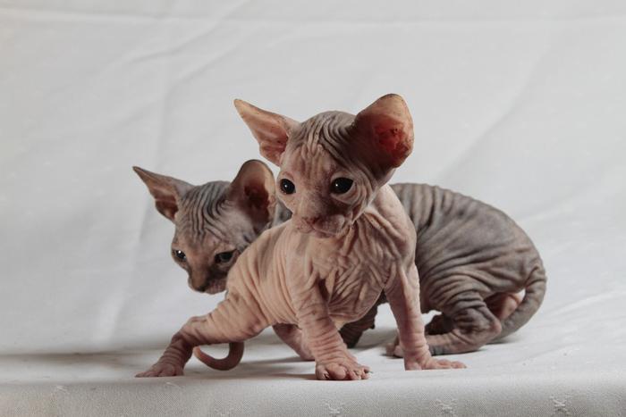Gatos raza Sphynx