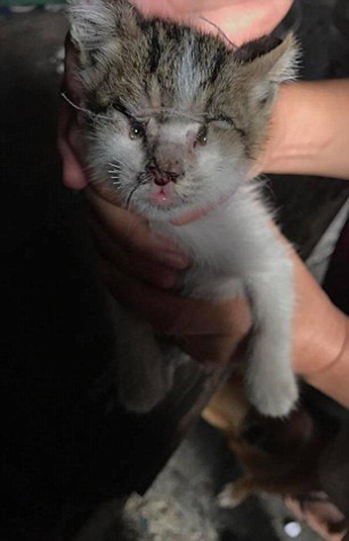 Esta gata de un mes de edad fue víctima de unos abusadores