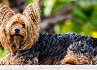 Yorkshire Terrier, todo lo que debes saber