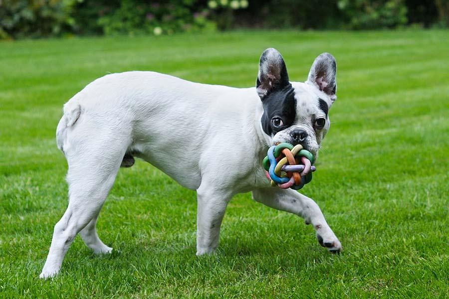 bulldog francés blanco con negro