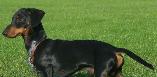 dachshund, teckel o perro salchicha