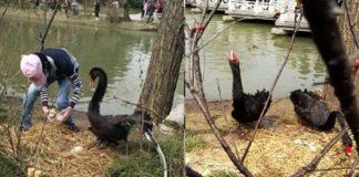 Un hombre intentó hurtar cuatro huevos de dos cisnes negros en China