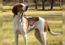 perro foxhound