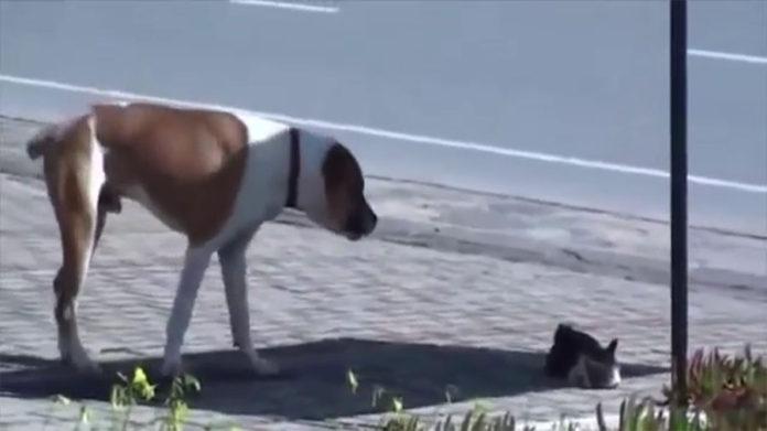 pitbull ayuda a un gato herido