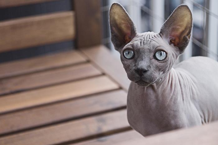 raza felina