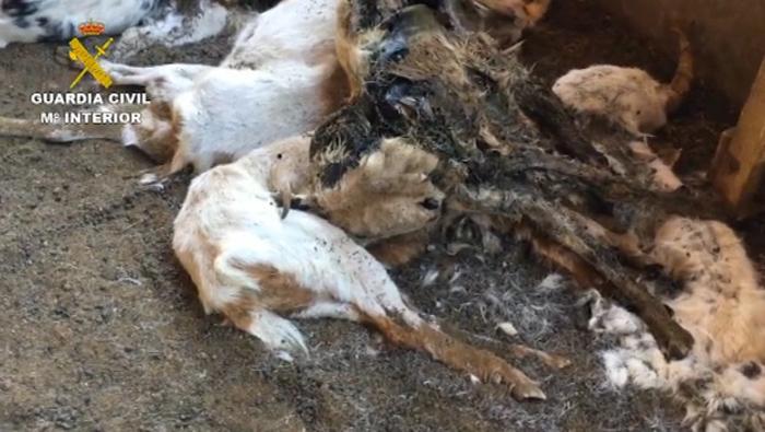 346 cabras fallecieron