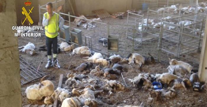 346 cabras murieron de sed y hambre