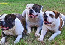 Comportamiento y curiosidades del Bulldog Americano