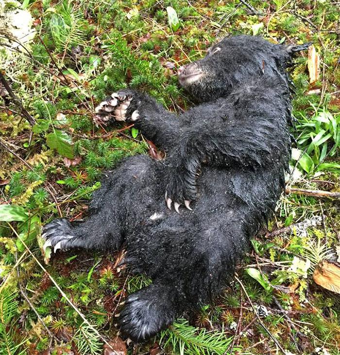 Corey Hancock salvó a este oso bebé
