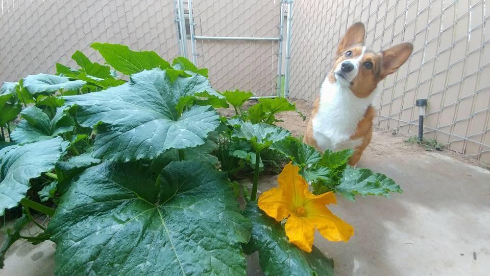 Corgi está orgulllosa del jardín que plantó